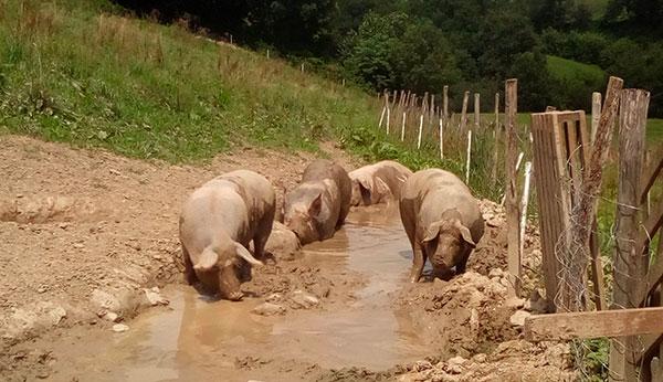 Biharko Lurraren Elkartea : Sylvain Regnier - Porcs