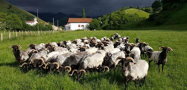Buru Beltza troupeau brebis