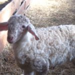AFOG-BLE : Accompagner la conversion en ovin lait bio