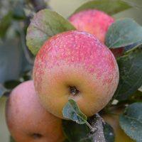 Pomme du Pays Basque